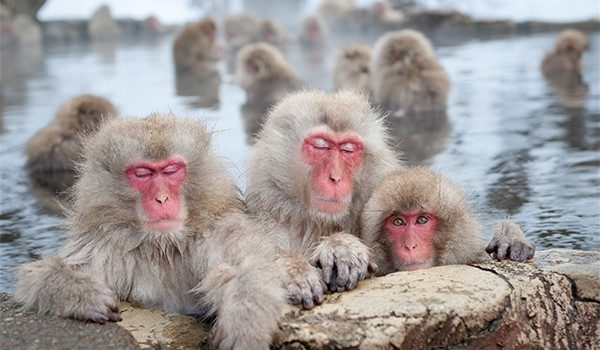 Discover the Japanese old world snow monkeys of Nagano